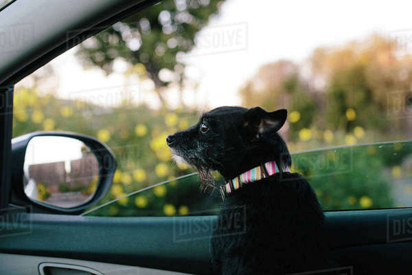 Dog looking away while sitting in car Royalty-free stock photo