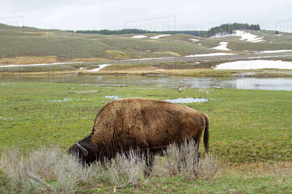 American Bison grazing on field Royalty-free stock photo