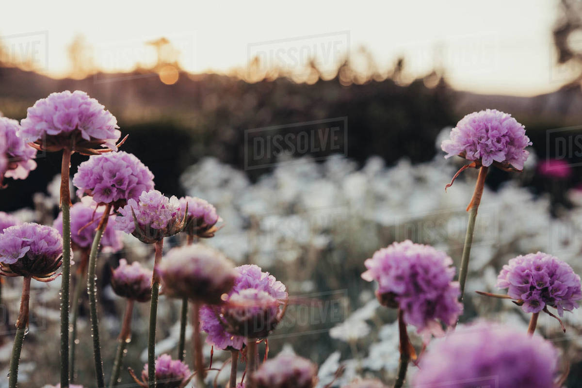 Close Up Of Purple Flowers Growing On Field During Sunset Stock Photo Dissolve