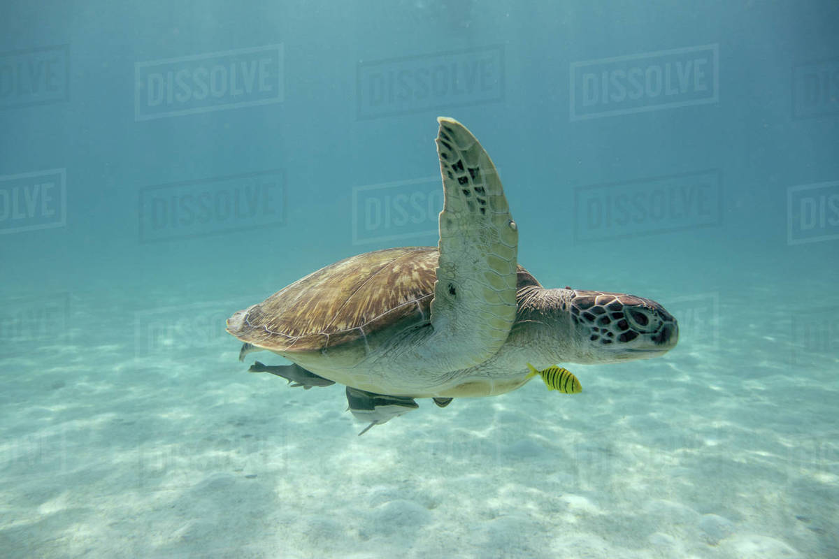 Sea turtle in the tropical seas Royalty-free stock photo