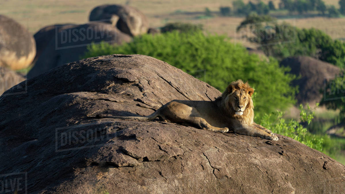 A young male lion is enjoying the morning sun from a rock Royalty-free stock photo