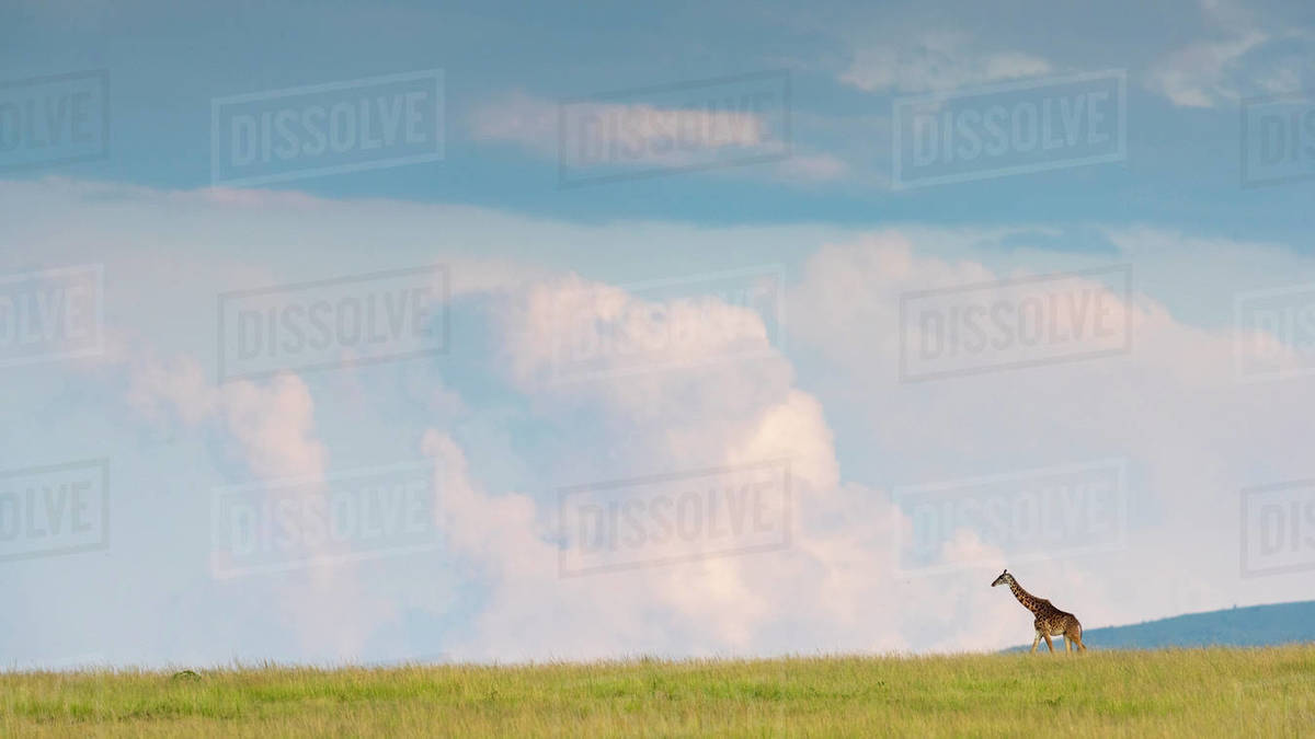 A giraffe walks in the savannah, in the background a cloudy sky Royalty-free stock photo