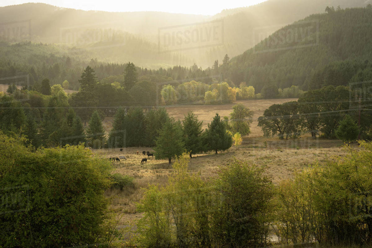 View of field of cows at sunrise with light beams Royalty-free stock photo