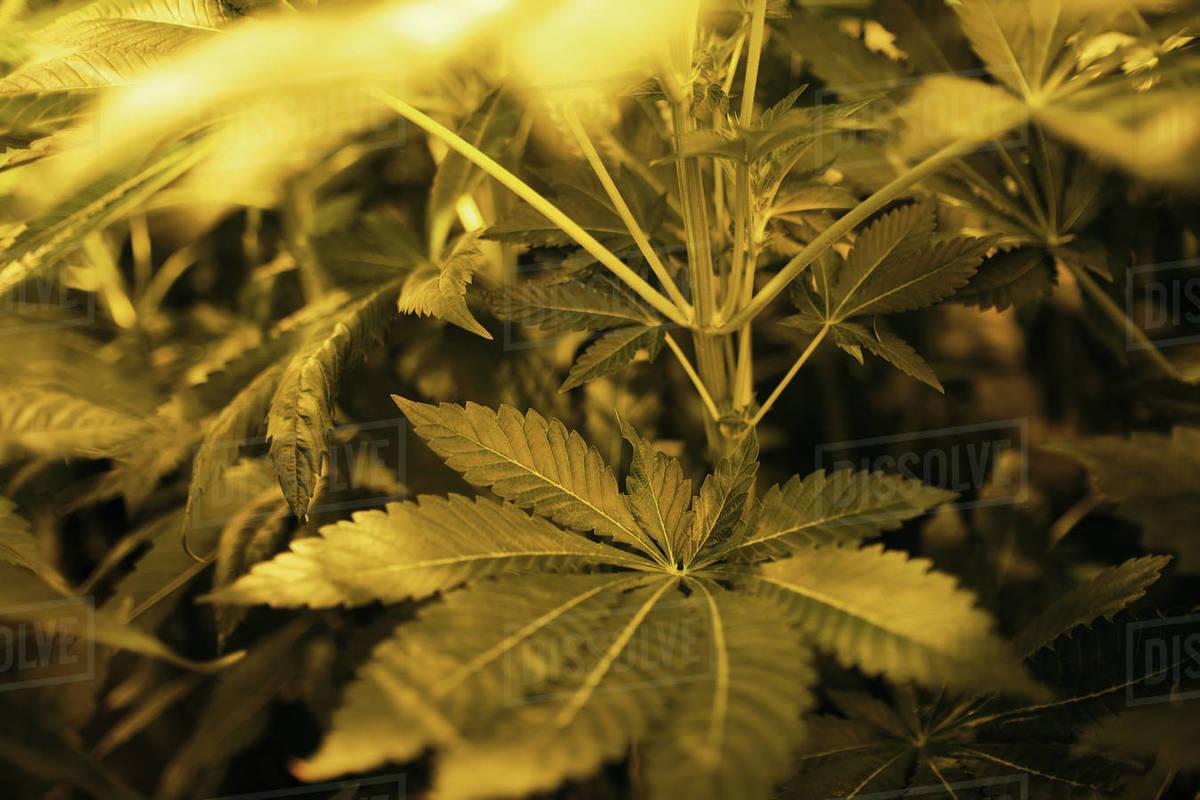Illegal marijuana planting indoors at home Royalty-free stock photo