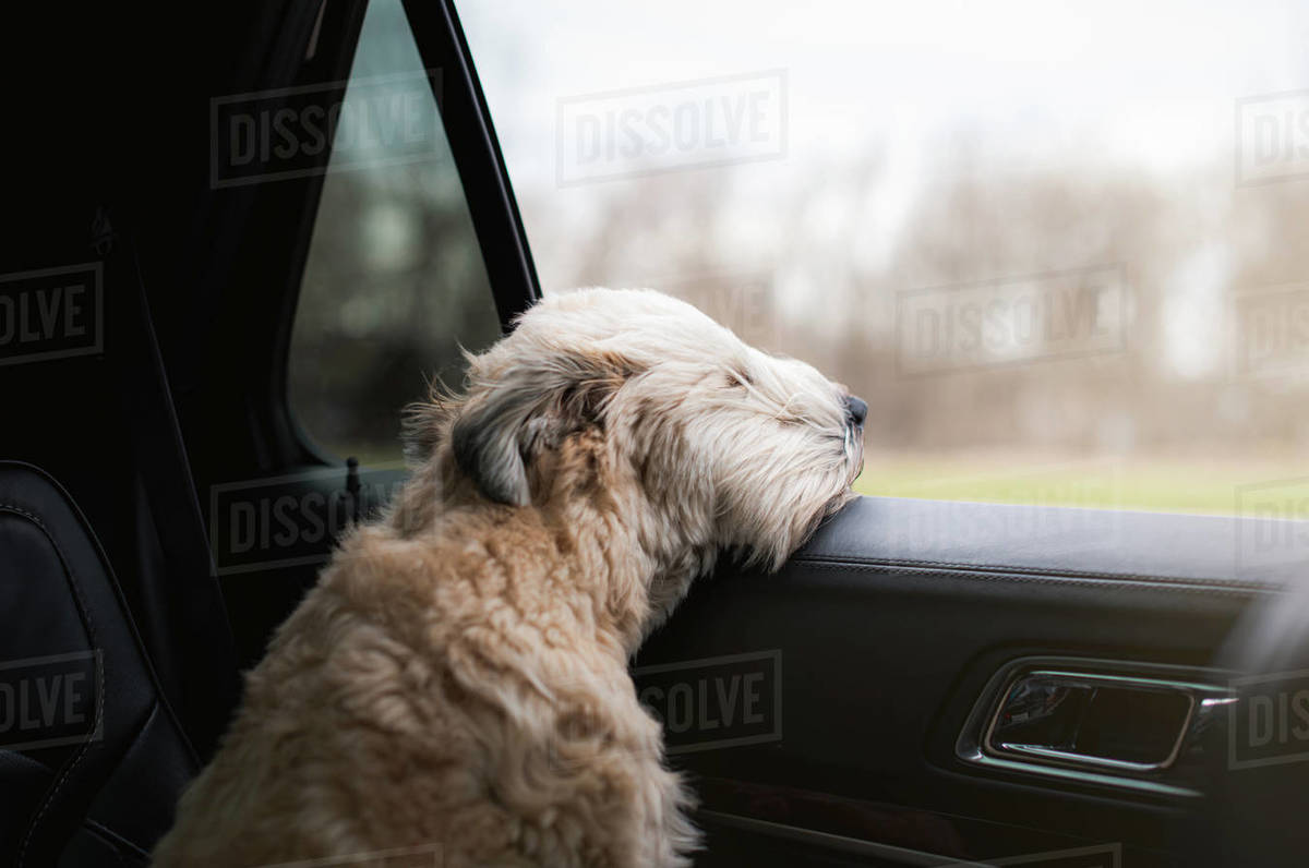 Fluffy dog with his head sticking out of the open window of a car. Royalty-free stock photo