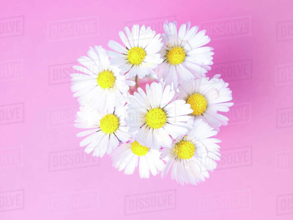 Close up of a bunch of daisies from above, spring is blossoming Royalty-free stock photo