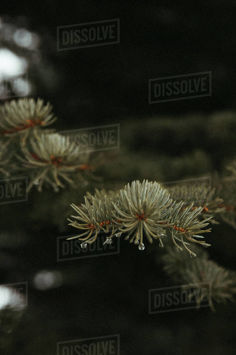 Close-up of water droplets on blue spruce pine needles during spring Royalty-free stock photo