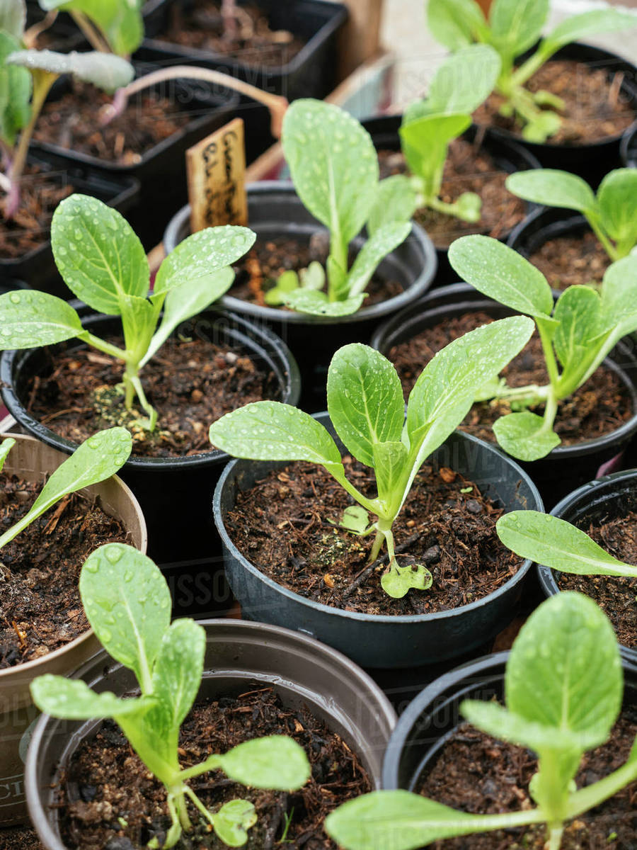 Bok choy seedlings in nursery pots. Royalty-free stock photo