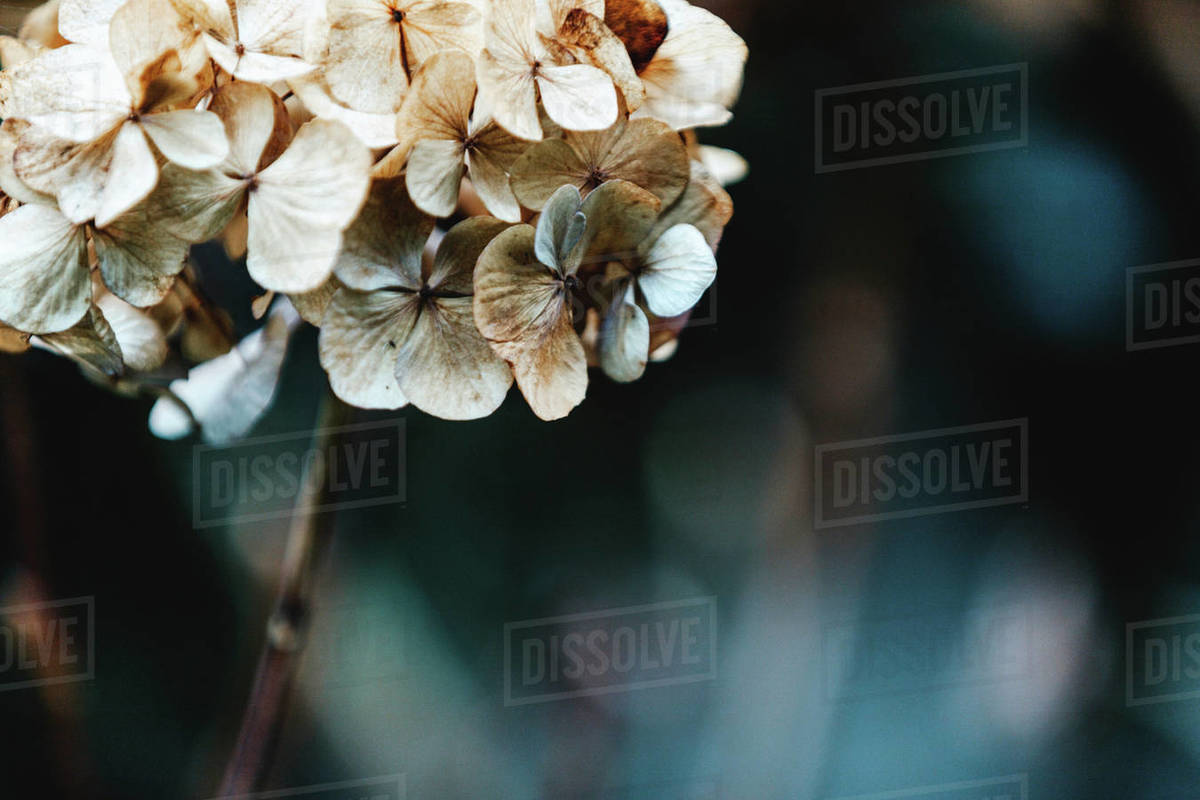 Hortensia flower head. Dark tones, close-up. Royalty-free stock photo