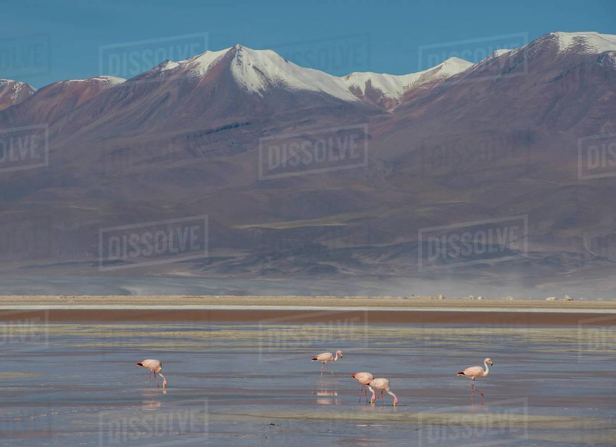 Flamingos in the Antofagasta Region in Chile Royalty-free stock photo