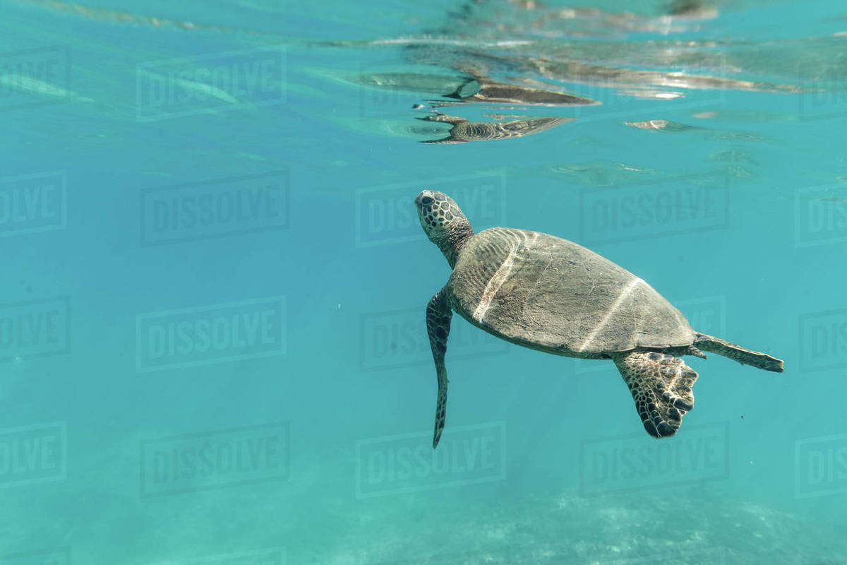 A small sea turtle  swims to the surface of the clear hawaii ocean Royalty-free stock photo