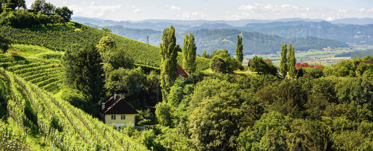 Vineyard on Austrian countryside. Landscape of styrian nature. Royalty-free stock photo
