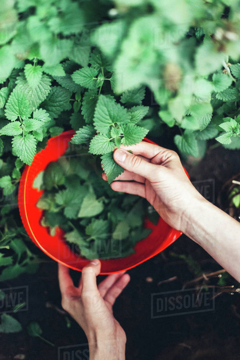 Woman harvesting mint in the garden Royalty-free stock photo