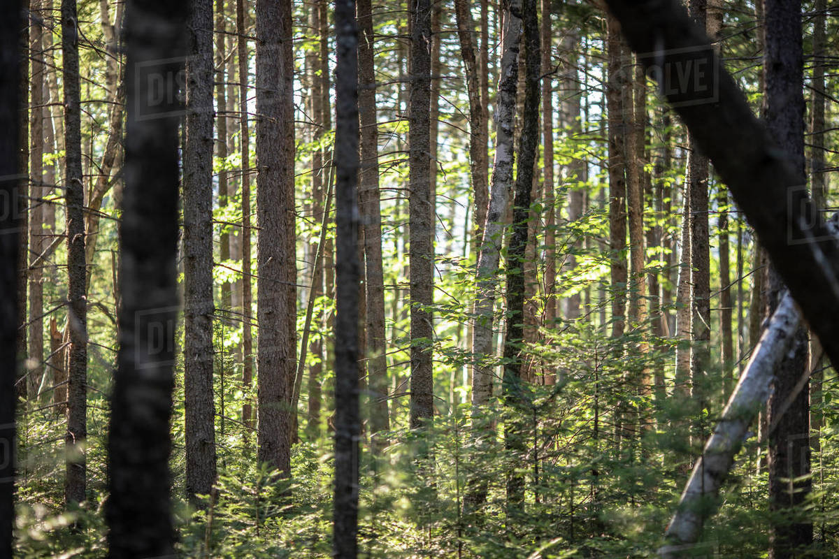 A view of dense forest along the Appalachian Trail in Maine woods Royalty-free stock photo