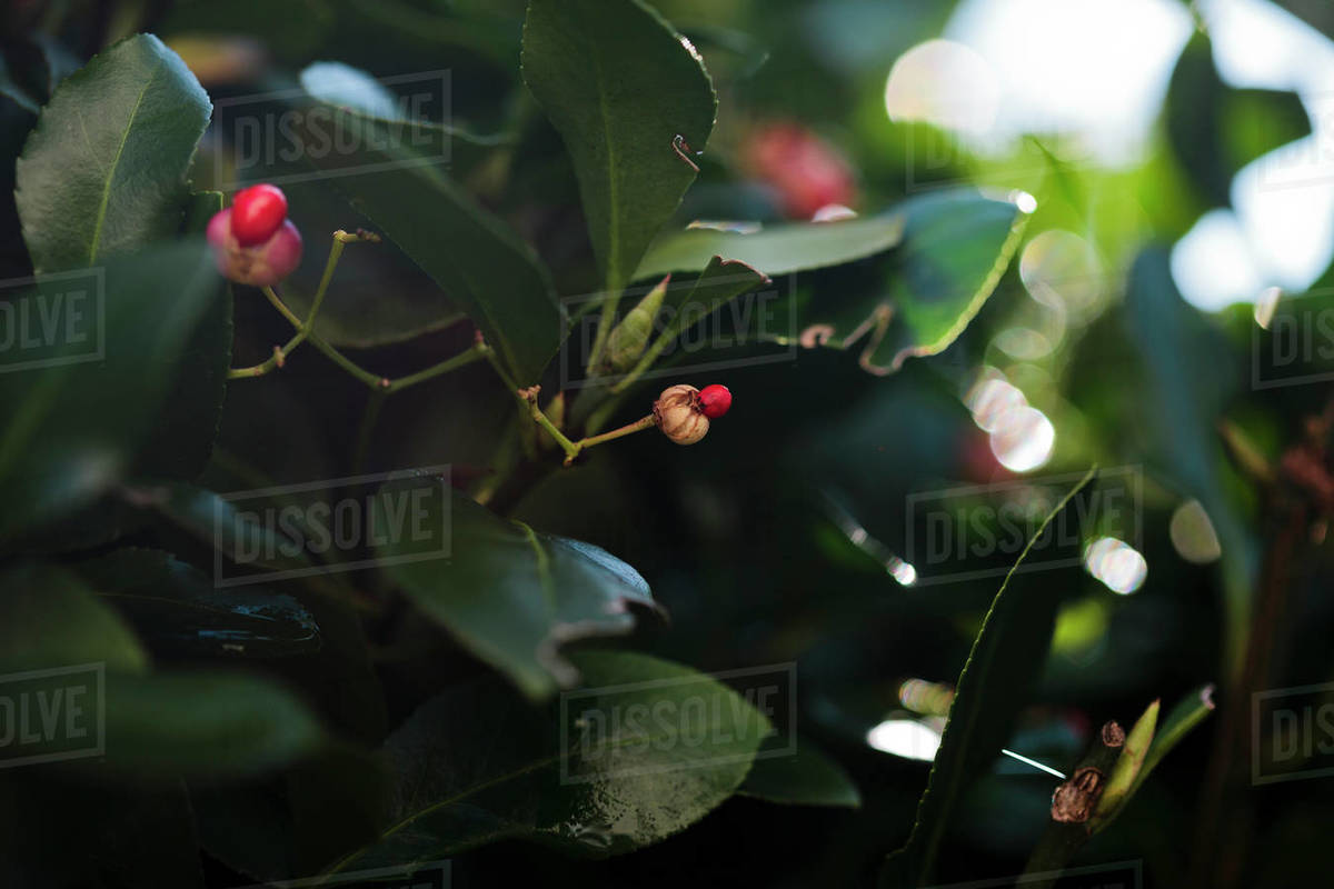Red berries on green foliage Royalty-free stock photo