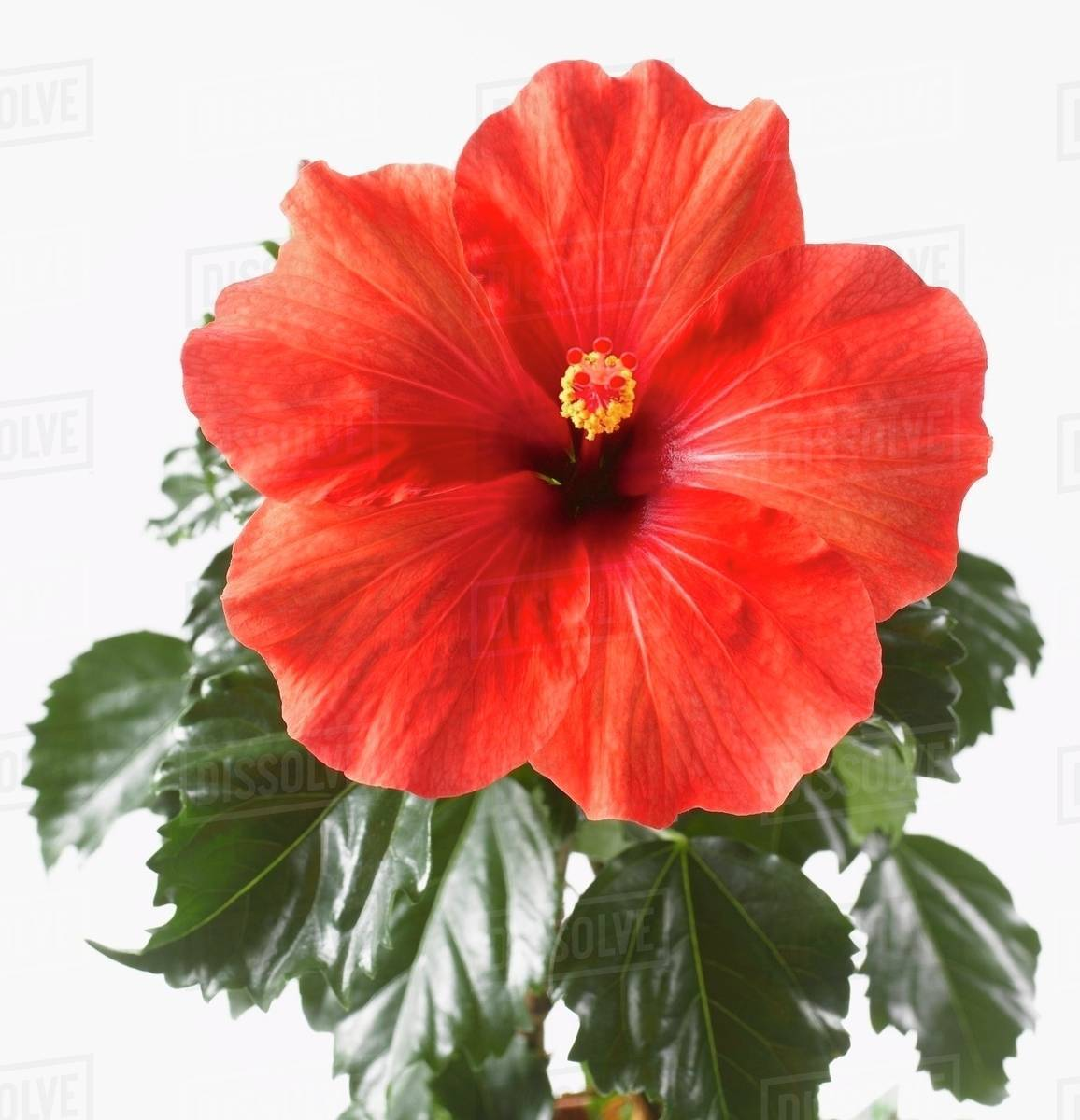 Red hibiscus flower with leaves stock photo dissolve red hibiscus flower with leaves izmirmasajfo