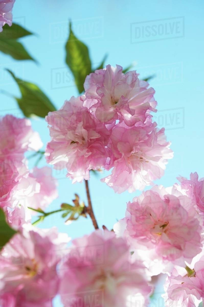 Kwanzan Flowering Cherry Tree Close Up Blue Sky Stock Photo