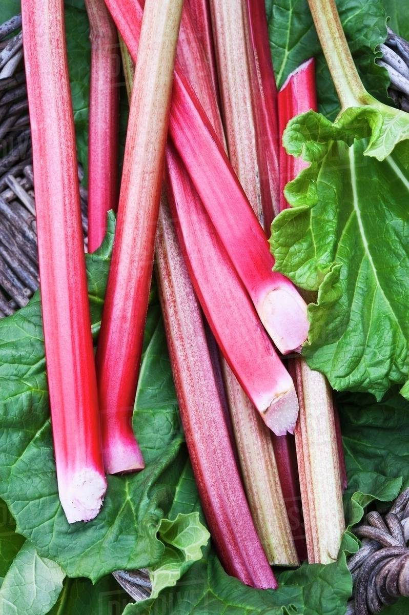 Fresh Rhubarb Pictures