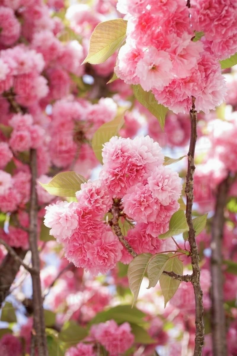 Japanese Flowering Cherry In Blossom Stock Photo Dissolve