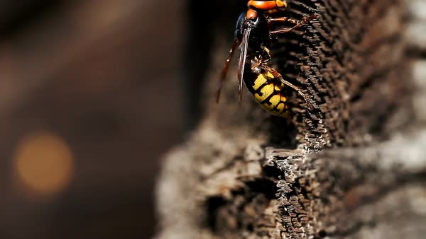 Large wasp queen closeup Royalty-free stock video
