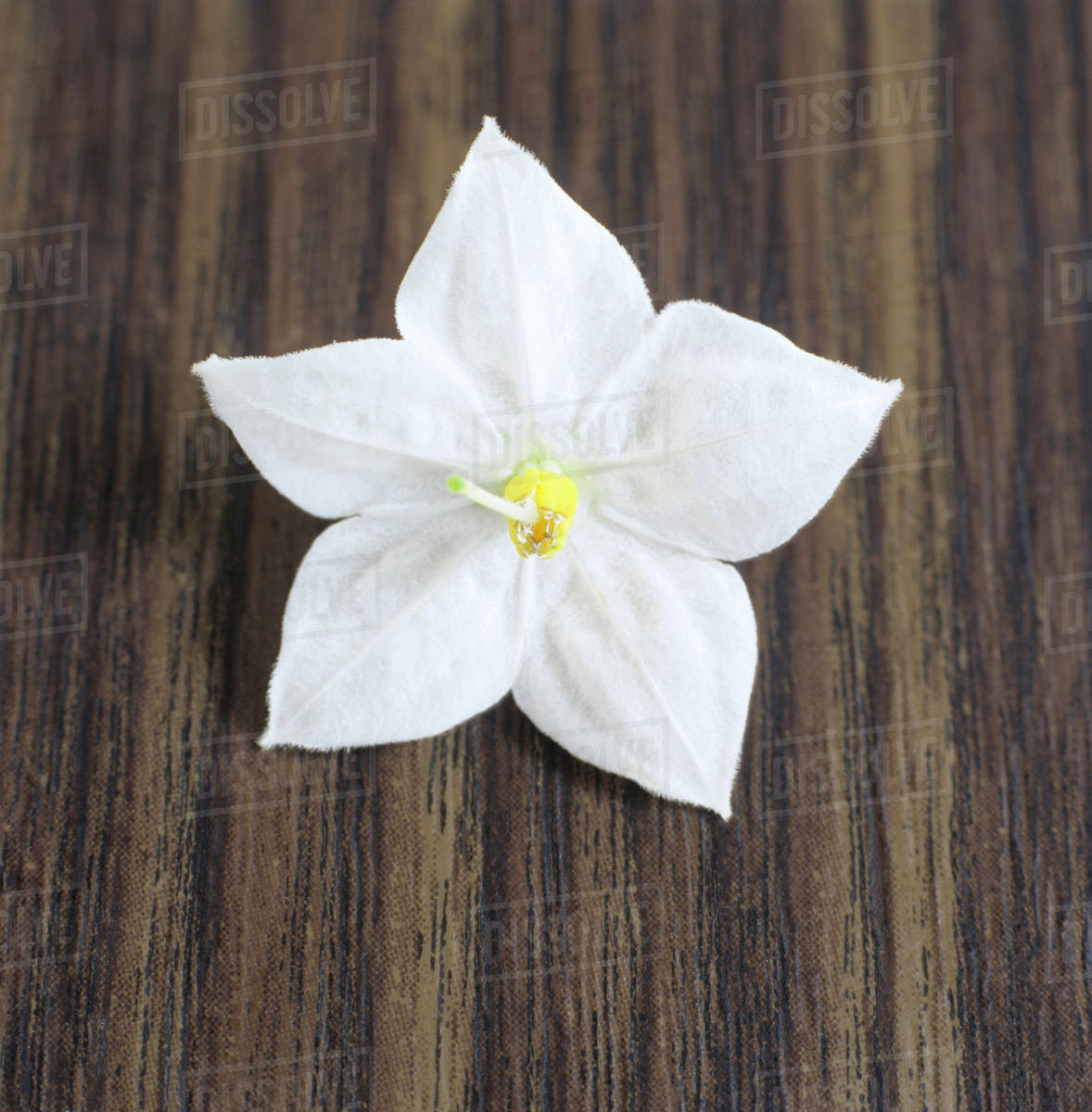 Single Jasmine Flower Stock Photo Dissolve