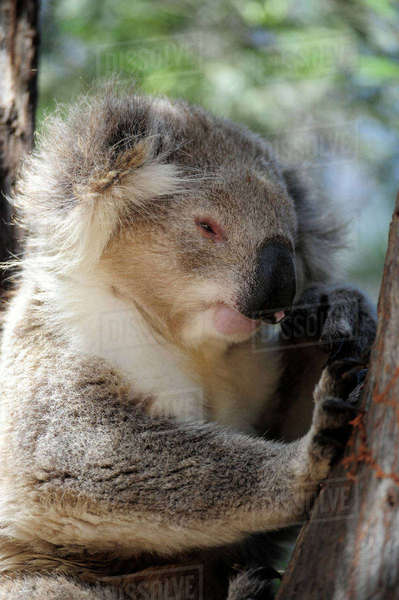 Australia, Victoria, Bairnsdale, koala bear relaxing in a tree Rights-managed stock photo
