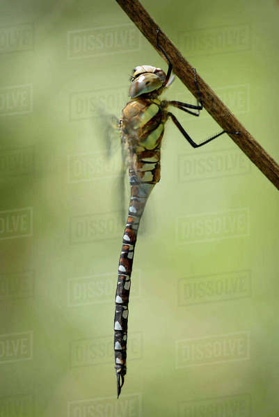 England, Migrant hawker, Aeshna mixta, close-up Rights-managed stock photo