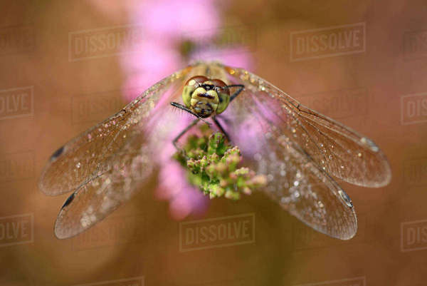 Black darter, Sympetrum danae, sitting on Inflorescence Rights-managed stock photo