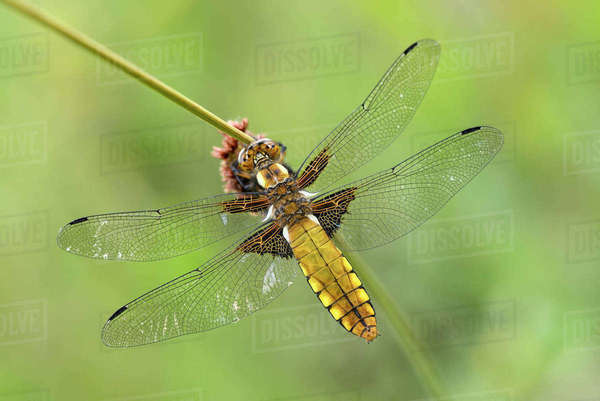 Broad-bodied Chaser, Libellula depressa Rights-managed stock photo