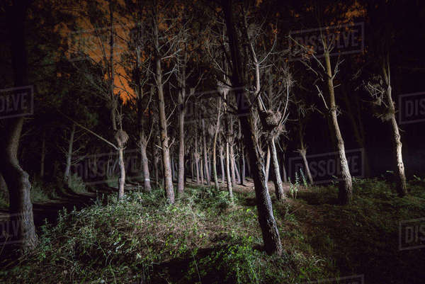 Forest at night illuminated with a flashlight Rights-managed stock photo