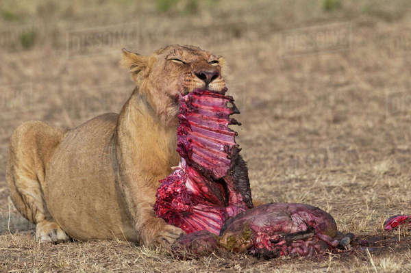 Africa, Kenya, Maasai Mara National Reserve, Female lion, Panthera leo, eating a blue wildebeest Rights-managed stock photo