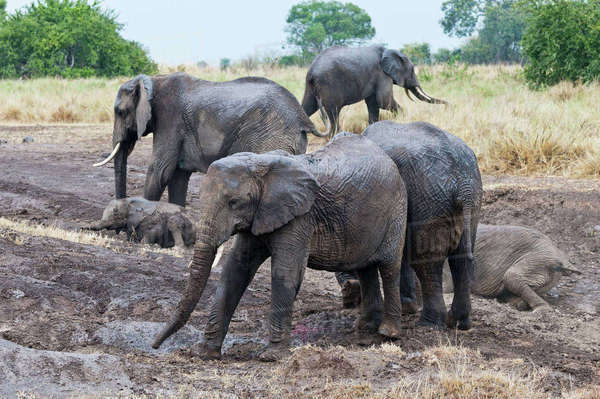 Africa, Kenya, Maasai Mara National Reserve, African Elephants, Loxodonta africana, herd mud-bathing Rights-managed stock photo