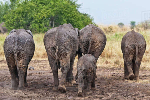 Africa, Kenya, Maasai Mara National Reserve, African elephants, Loxodonta africana, elephant family, rear view Rights-managed stock photo