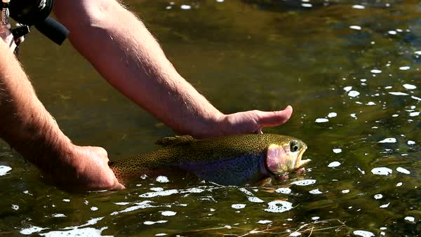 View of Rainbow Trout being released back in the river. Royalty-free stock video