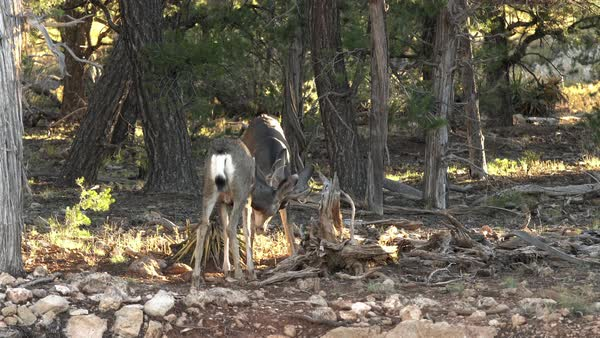 Two mule deer sparing during the rut at the Grand Canyon. Royalty-free stock video