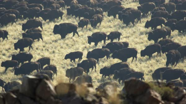 Herd of Bison running across the landscape on Antelope Island Utah. Royalty-free stock video