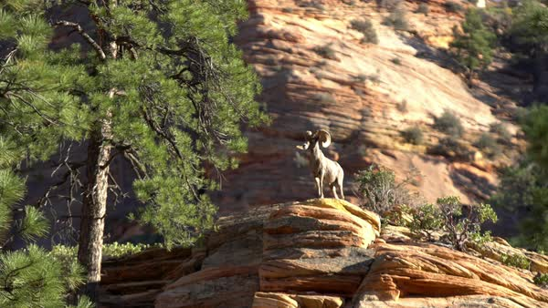 Bighorn Sheep standing on top of a rock in Zion National Park. Royalty-free stock video