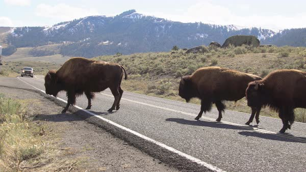 Bison herd slowly crossing the road in Yellowstone Royalty-free stock video