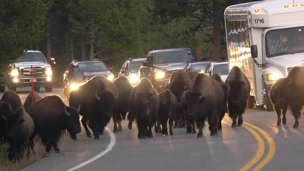 Bison herd slowly moving down roadway causing traffic jam as line of vehicles are trying to pass. Royalty-free stock video
