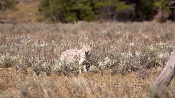 Coyote looking through the brush and grass while it is hunting. Royalty-free stock video