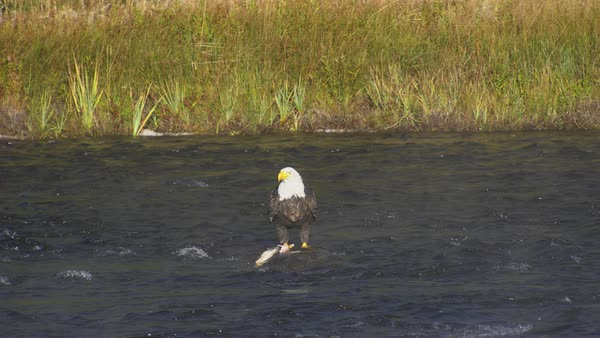 Bald Eagle standing in river on deer carcass then flying upstream in Wyoming. Royalty-free stock video