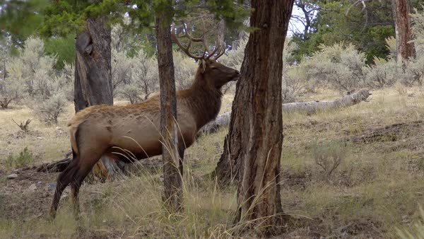 Bull Elk standing in forest looking around in Wyoming. Royalty-free stock video
