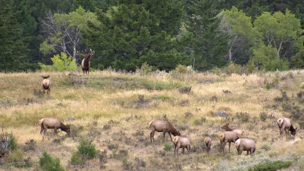 Bull Elk with trophy antlers bugling in forest guarding cow elk Royalty-free stock video