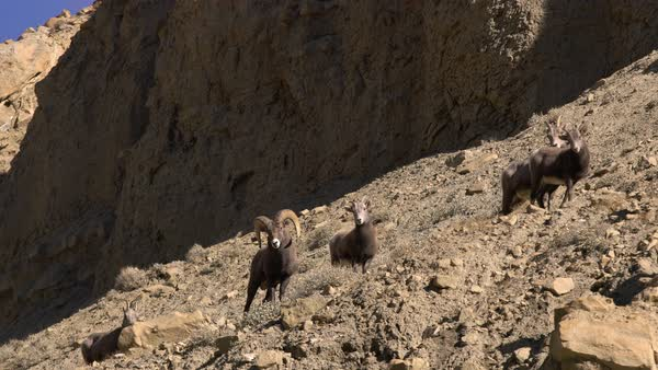 Rocky Mountain Bighorn Sheep walking through the terrain on rocky hillside in Green River Utah. Royalty-free stock video