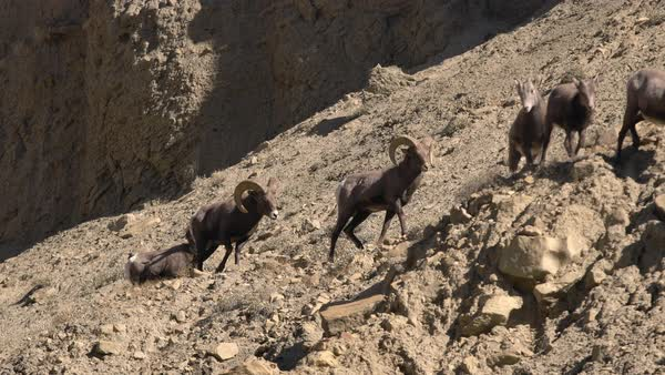 Rocky Mountain Bighorn Sheep rams walking along rocky hill top Royalty-free stock video