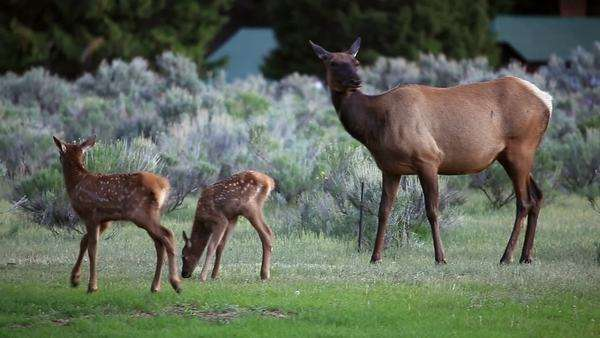 Cow Elk with 2 calves grazing in the grass at Mammoth Hot Springs. Royalty-free stock video