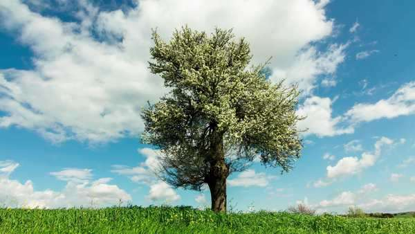 Spring/summer landscape tree on meadow sky and clouds timelapse. timelapse of a blossomed oak tree in the horizon, in a beautiful meadow, with summer clouds and sky as background. Royalty-free stock video