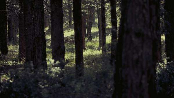Scary dark forest, tall trees, camera crane movement, slow motion Royalty-free stock video