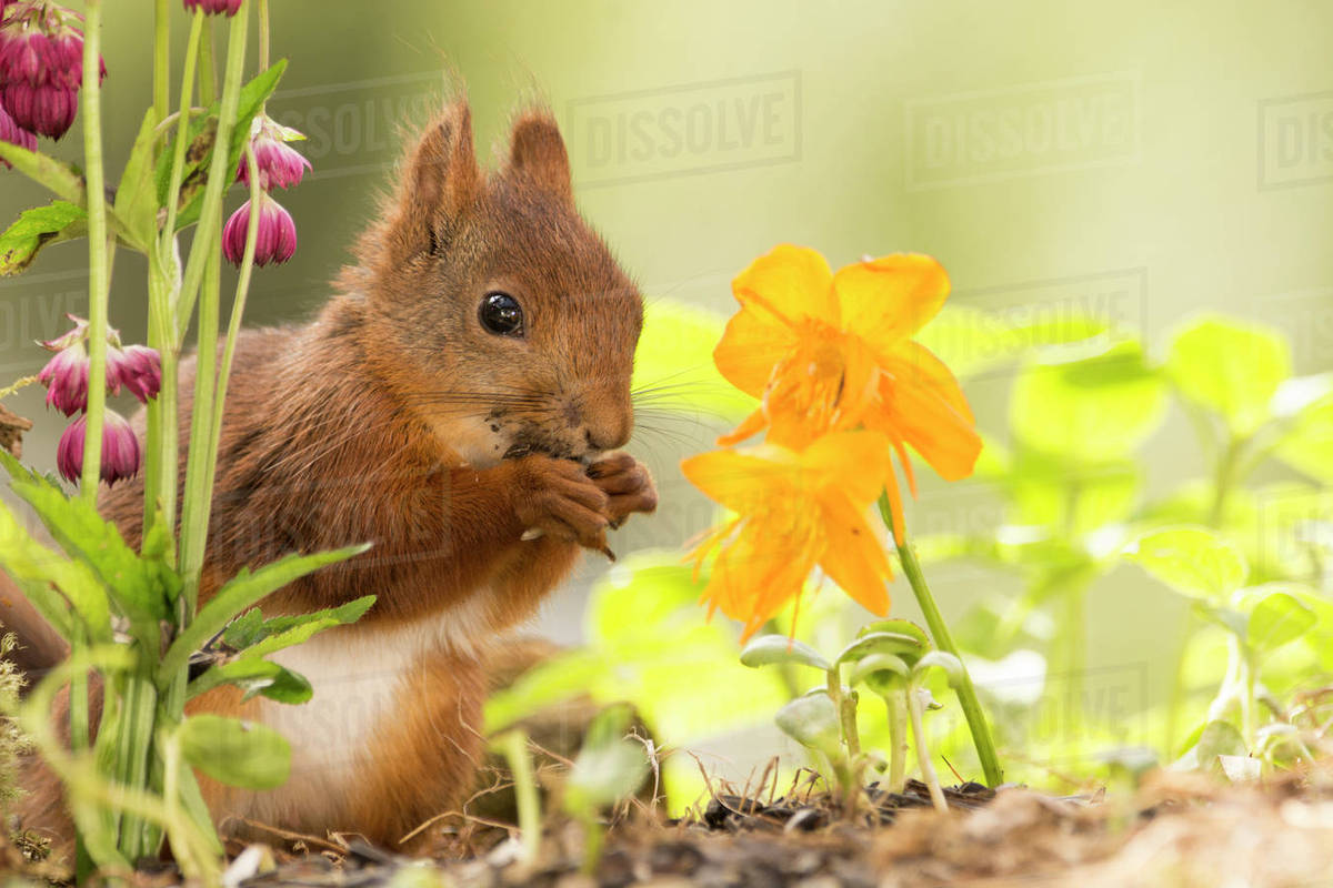 Cute photograph with close up of red squirrel with yellow flowers cute photograph with close up of red squirrel with yellow flowers bispgarden jamtland sweden mightylinksfo