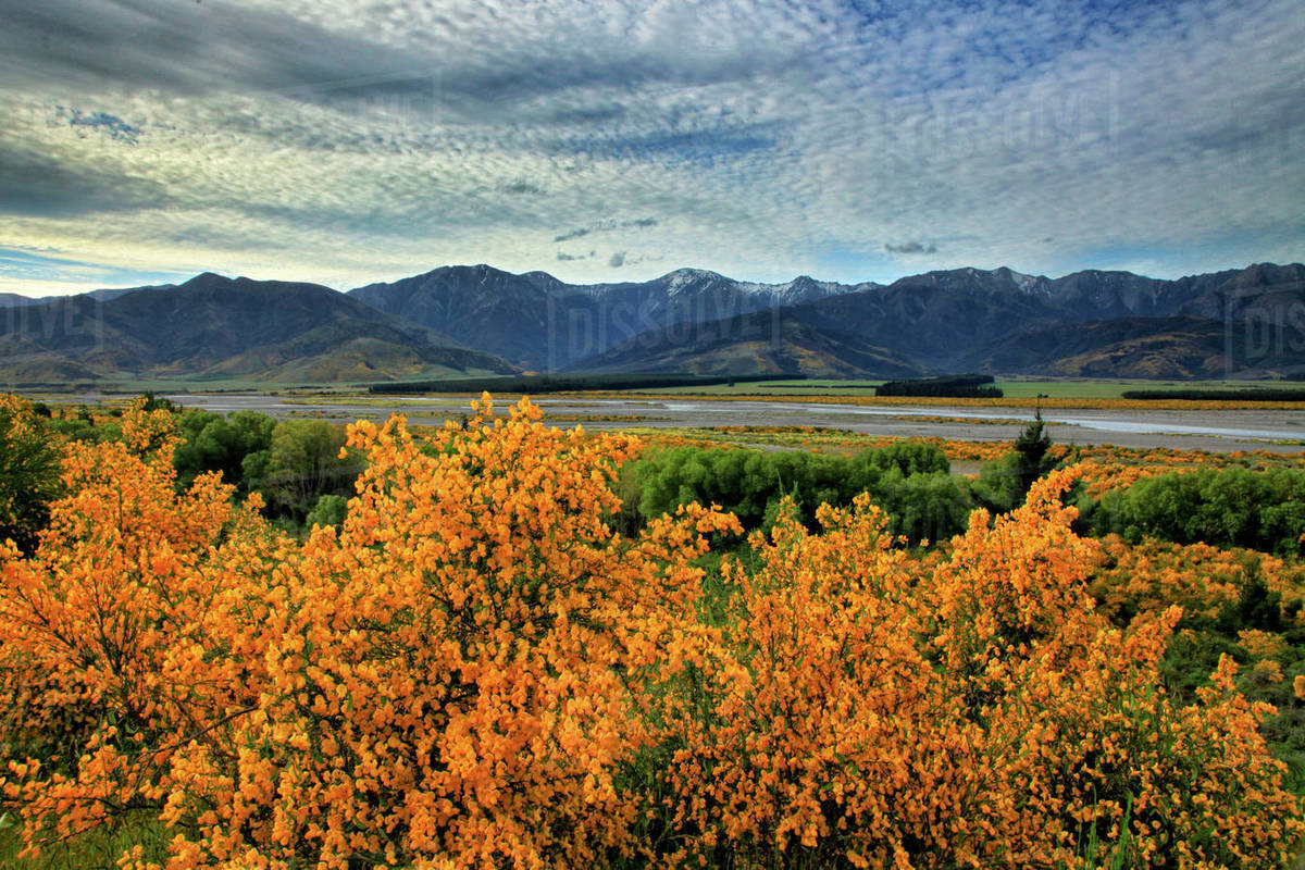 Scenic View Of Yellow Flowering Bushes In Front Of Waiau River And